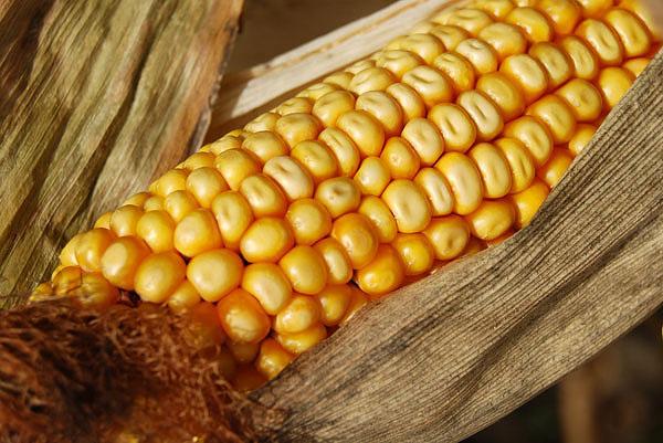 Legislación de alimentos modificados genéticamente en el Reino Unido