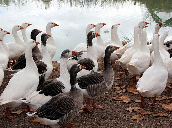 Producción de foie gras