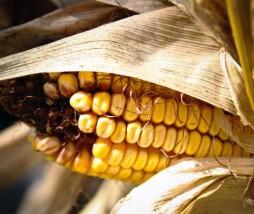 Política Comunitaria de alimentos modificados genéticamente