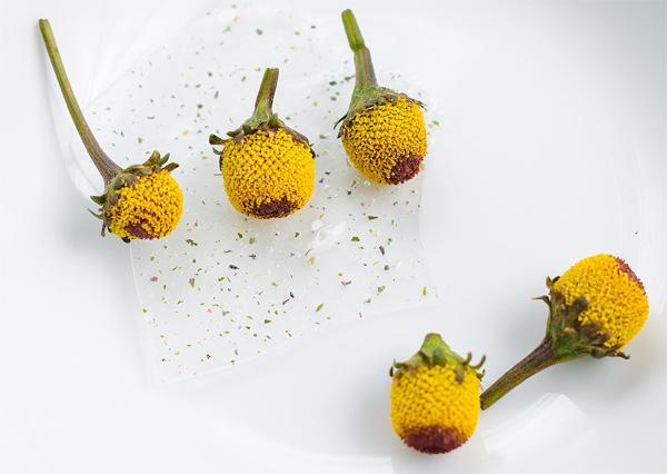 Paracress, flor Sichuan