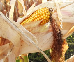 Regulación convivencia alimentos ecológicos y transgénicos