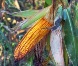 Alimentos modificados genéticamente y política