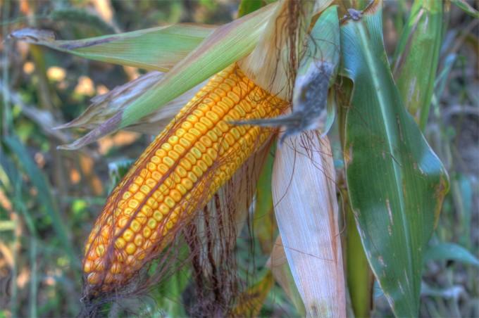 El maíz Bt ya no es efectivo