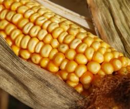 Alimentos modificados genéticamente en Europa