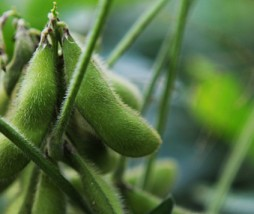 Soja cultivos