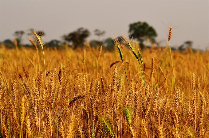 Una variedad de trigo transgénico se escapa del control de Monsanto