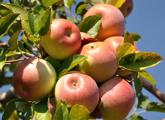 cambios en la textura y el sabor de las manzanas