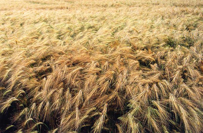 Malas hierbas resistentes al roundup