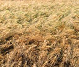 cultivos con malas hierbas