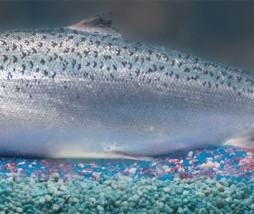 compañías alimentarias vetan el salmón transgénico