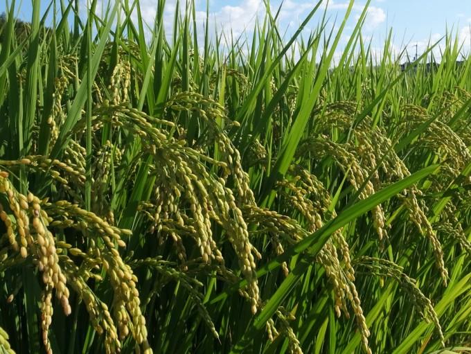 Mapa genético del arroz