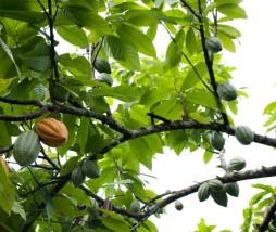 Nestlé, Cargill y ADM en plantaciones de cacao