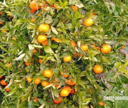Precio de las mandarinas