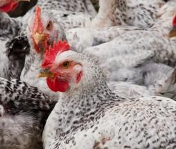Pollos del Reino Unido