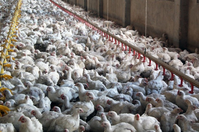 Pollos procesados en China