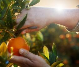 Calidad de las naranjas