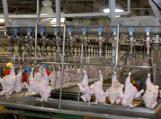 Pollo contaminado con  Campylobacter