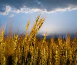 Predicción del rendimiento del trigo para el año 2050