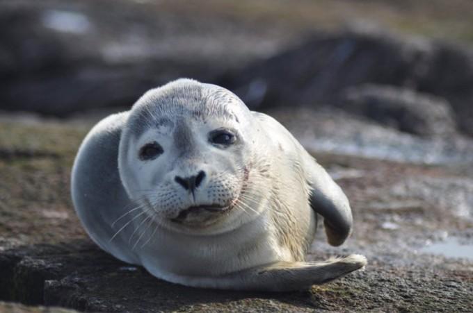 Carne de foca