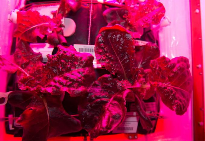 Lechuga romana cultivada en el espacio