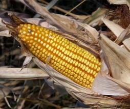 Etiquetar los alimentos modificados genéticamente
