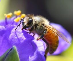 Desaparición de las abejas