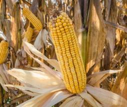 Rendimiento del maíz transgénico