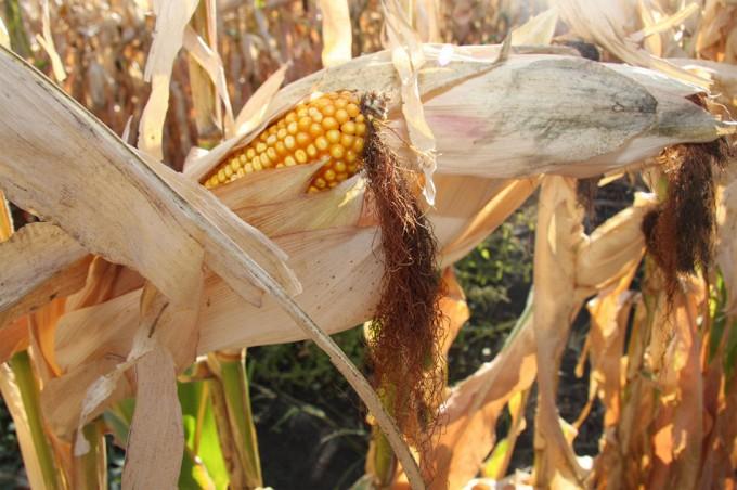 ¿Que procicaría un mundo sin cultivos transgénicos?