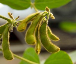Estudio sovre el cultino de alimentos transgénicos