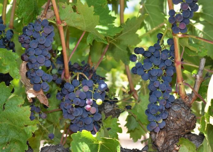 variedad de levaduras del vino