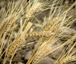Investigación sobre el genoma del trigo