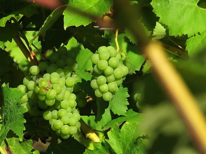 Producción de vino en el Reino Unido