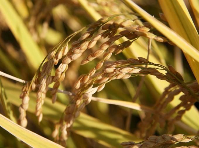 Producción de arroz