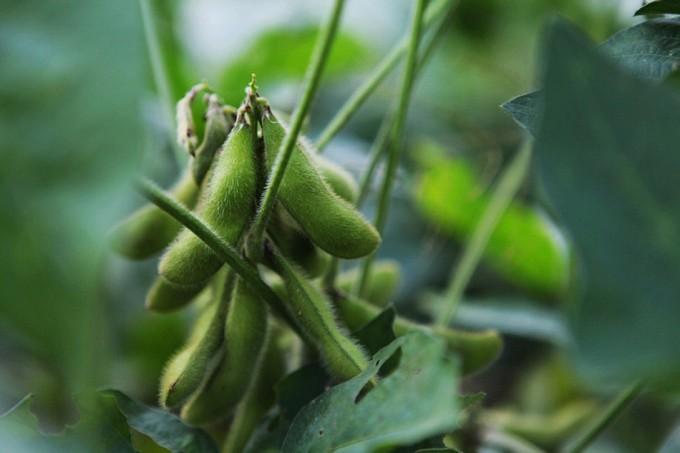Piensos modificados genéticamente