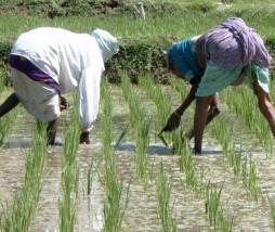 Fitomejoramiento del arroz