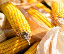 Investigación sobre el maíz transgenico
