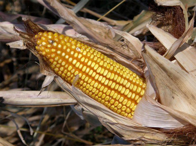 Permiso para el cultivo de MON 810 en la UE