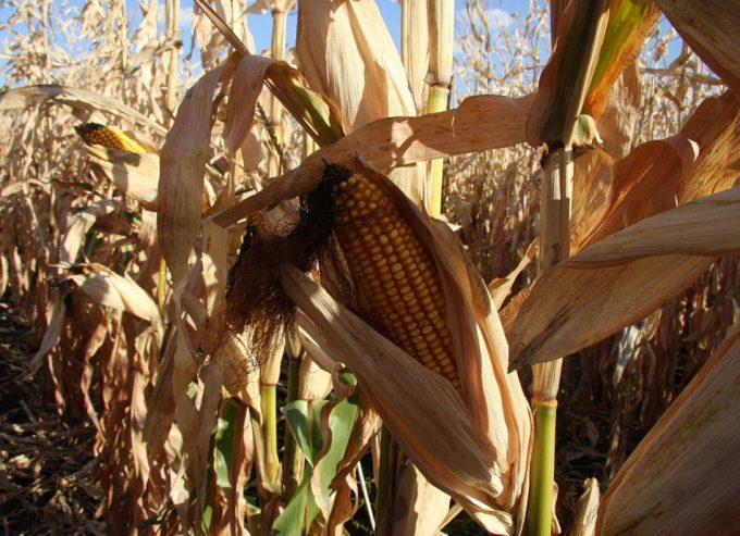 Aprobación del maíz MON 810
