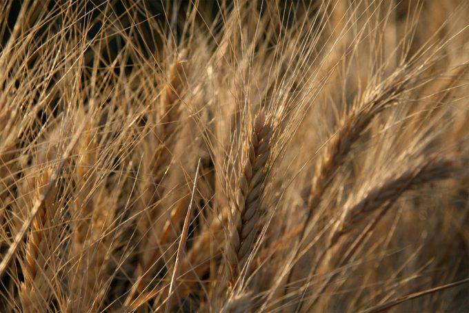 Cultivos modificados gebéticamente