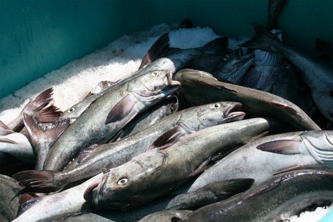 Transbordo de pescado