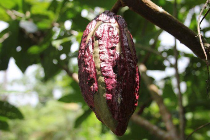 Metales pesados en el cacao