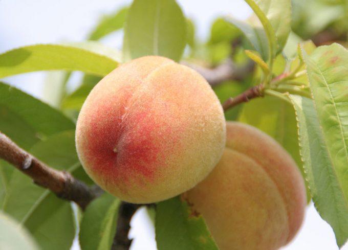 Precios de melocotones y nectarinas