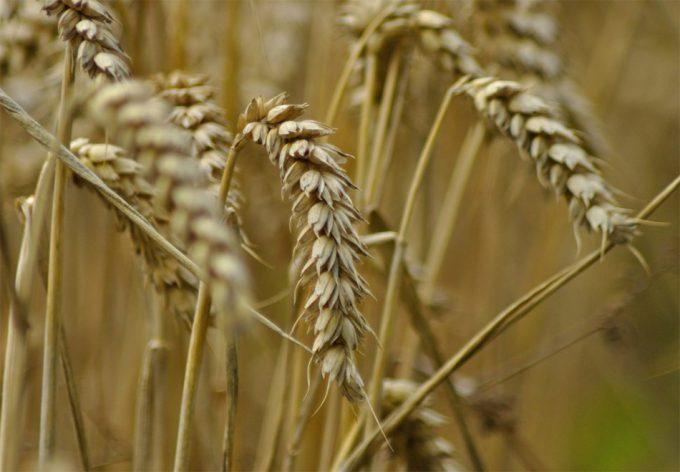 Edición genética de los cultivos