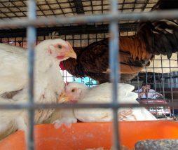 Uso de colistina en las aves de granja