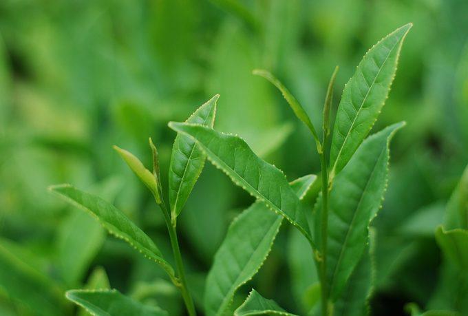 Antioxidantes del té verde