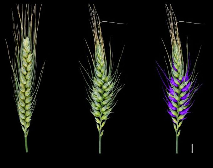 Mejora genética del trigo