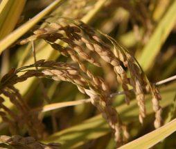 Investigación sobre la producción de arroz
