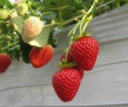 Fresas o fresones