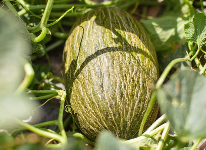 La Melonería, melones y sandías