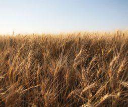Cultivo de cereales en Europa